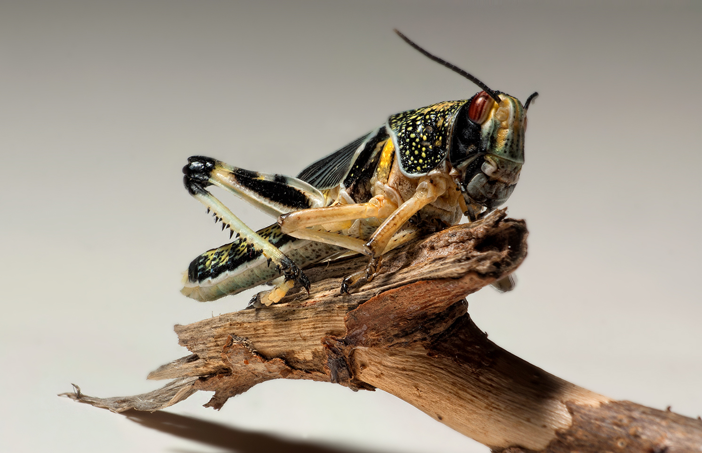 Moult Hopper (Schistocerca Gregaria / African Migratory Locust)